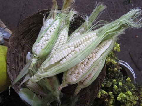 giant corn peru