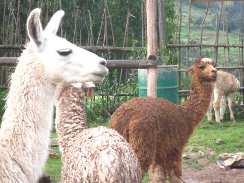 llamas and alpacas, peru