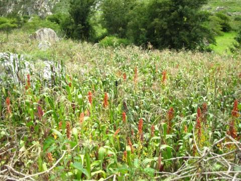 quinoa fields, peru