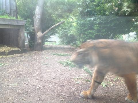 restless tiger